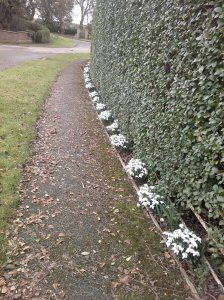 Horninghold Snowdrops Tuesday 2 March 2015