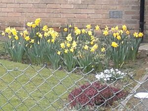 Early Daffodils and Crocuses make an appearnce. Cottingham, 2 March 2015